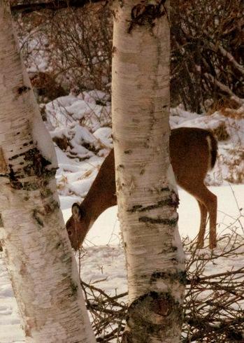 Deer in my Back Yard(/caption)