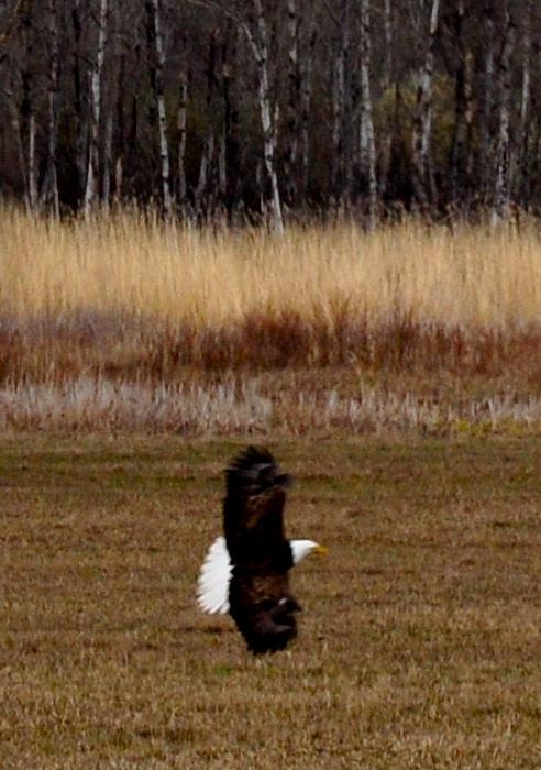 Eagle Afar